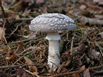 Hj fluesvamp (Amanita excelsa)